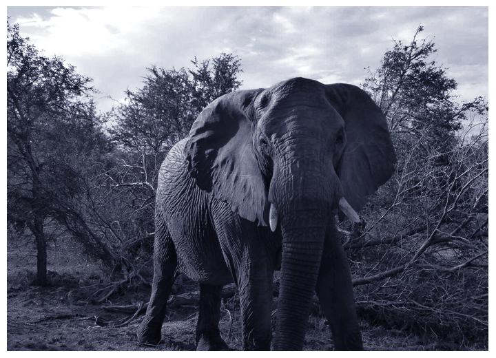 Wildlife monitoring elephant